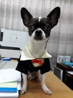น้องจับโบ้ในเสื้อสุนัข เสื้อน้องหมา เสื้อหมา เสื้อผ้าหมา เสื้อแมว เสื้อผ้าสุนัข ชุดทักซิโด้ชาย สูทดำ