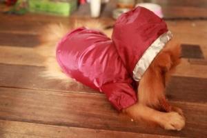 น้องบราวนี่กับเสื้อสุนัข เสื้อหมา เสื้อน้องหมา เสื้อผ้าหมา เสื้อแมว เสื้อผ้าสุนัข กันฝน สีแดง