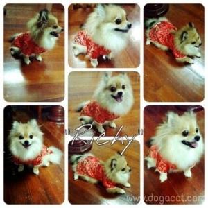 น้องริชชี่กับเสื้อสุนัข เสื้อหมา เสื้อน้องหมา เสื้อผ้าหมา เสื้อแมว เสื้อผ้าสุนัข ชุดจีน สีแดง