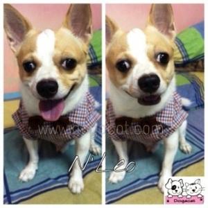 น้องลีโอกับเสื้อสุนัข เสื้อหมา เสื้อน้องหมา เสื้อผ้าหมา เสื้อแมว เสื้อผ้าสุนัข สก๊อตเล็ก อินธนู โทนน้ำตาล