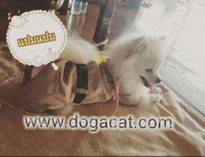 น้องแปมแปมใส่เสื้อสุนัข เสื้อหมา เสื้อน้องหมา เสื้อผ้าหมา เสื้อแมว เสื้อผ้าสุนัข ชุดข้าราชการ