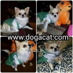 น้องluckyใส่เสื้อสุนัข เสื้อหมา เสื้อน้องหมา เสื้อผ้าหมา เสื้อแมว เสื้อผ้าสุนัข ชุดเอี๊ยมยืด Polka Dot ลายจุดเขียว