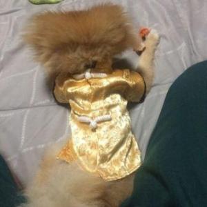 รีวิวเสื้อสุนัข เสื้อหมา เสื้อน้องหมา เสื้อผ้าหมา เสื้อแมว เสื้อผ้าสุนัข ชุดจีน สีทอง