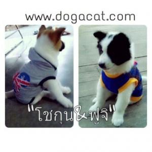 น้องฟูจิกับเสื้อสุนัข เสื้อหมา เสื้อน้องหมา เสื้อผ้าหมา เสื้อแมว เสื้อผ้าสุนัข เสื้อยืดสก๊อต มีเป้ สีน้ำเงิน