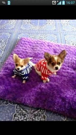 น้องมอนเตอร์กับน้องมีมี่ เสื้อสุนัข ชุดทหารเรือ สีแดง