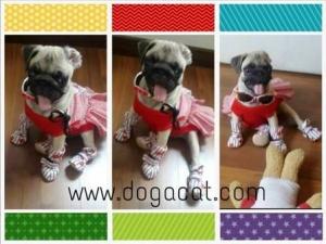 น้องตาหวานใน เสื้อสุนัข ชุดเดรส สาบลูกไม้ สีแดง กับรองเท้าสุนัข สตรอเบอร์รี่