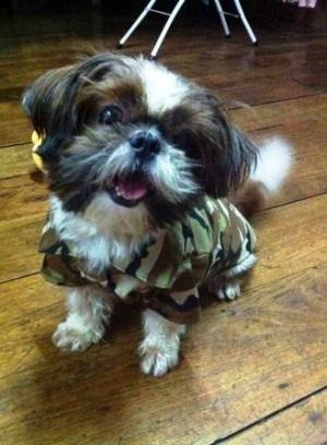 น้องซูชิ เสื้อสุนัข เชิ๊ตทหาร สีน้ำตาล