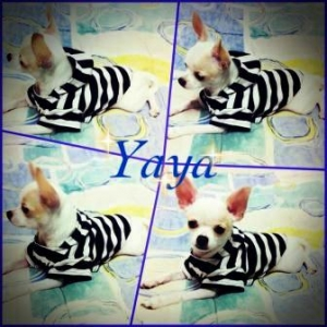 Yaya เสื้อสุนัข ลายขวาง ขาวดำ