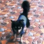 น้องเฉาก๊วย เสื้อสุนัข ตาข่ายV2 สีน้ำเงิน