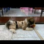 น้องโดเรมอนใส่เสื้อสุนัข เสื้อหมา เสื้อน้องหมา เสื้อผ้าหมา เสื้อแมว เสื้อผ้าสุนัข ชุดข้าราชการ