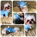 น้องลาเต้ใส่เสื้อสุนัข ชุดกระต่าย สีฟ้า