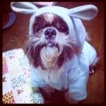 น้องซูชิ ในชุดเสื้อสุนัข ชุดกระต่าย สีฟ้า