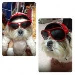 น้องหมูปิ้ง ใส่แว่นสุนัข หมวกกันน็อคสุนัข สีแดง