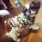 น้องซูชิในเสื้อสุนัข เชิ๊ตทหาร สีน้ำตาล
