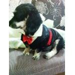น้องวุ่นวาย เสื้อสุนัข ชุดทักซิโด้ชาย สูทดำ byThummapo