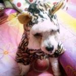 น้องไมโล เสื้อสุนัข ชุดลายเสือลายพาดกลอน เหลือง
