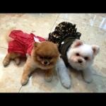 น้องเลดี้กับน้องเฮงเฮง น่ารักมากใน เสื้อสุนัข เดรสสายคล้อง กระโปรงลายจุด สีแดง
