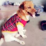 น้องกุ๊ดชี่ ในชุดเสื้อสุนัข เสื้อยืดสก๊อต มีเป้ สีแดง