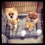 reviews เสื้อสุนัข ชุดจีน สีทอง