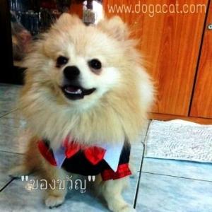 น้องของขวัญกับเสื้อสุนัข เสื้อหมา เสื้อน้องหมา เสื้อผ้าหมา เสื้อแมว เสื้อผ้าสุนัข ชุดนักเรียนอินเตอร์ ขอบแดง