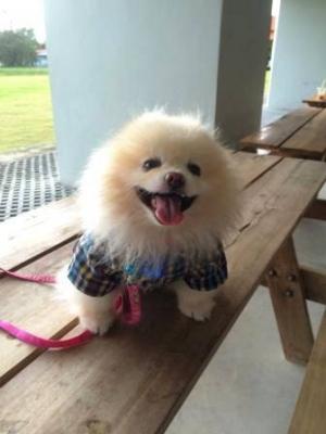 น้องมีตังค์ เสื้อสุนัข สก๊อตใหญ่ อินธนู โทนน้ำเงิน กับกางเกงสุนัข