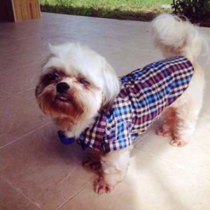 น้องปังปัง ใส่เสื้อสุนัข สก๊อตใหญ่ อินธนู โทนน้ำเงิน
