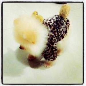 น้องลาเต้ เสื้อสุนัข ชุดลายเสือน้ำตาล มี hood