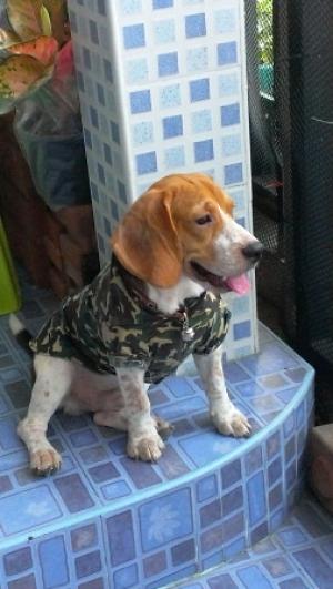 บีเกิล เสื้อสุนัข เชิ๊ตทหาร สีเขียว