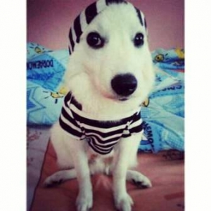 น้องฮีโร่ ใส่ชุดเสื้อสุนัข ลายขวาง ขาวดำ