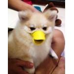 น้องกุ่ยช่าย ปากเป็ดครอบปากสุนัข สีเหลือง