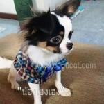 น้องเฮงเฮงกับเสื้อสุนัข เสื้อหมา เสื้อน้องหมา เสื้อผ้าหมา เสื้อแมว เสื้อผ้าสุนัข สก๊อตใหญ่ อินธนู โทนน้ำเงิน