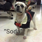 น้องโซดา เสื้อสุนัข ชุดทักซิโด้ชาย สูทดำ
