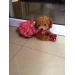 รีวิวในเสื้อสุนัข เสื้อหมา เสื้อน้องหมา เสื้อผ้าหมา เสื้อแมว เสื้อผ้าสุนัข ชุดเดรส สาบลูกไม้ สีแดง