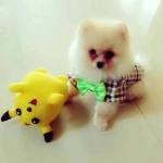 น้องลาเต้ในชุดเสื้อสุนัข ทักซิโด้ สก๊อต โบว์เขียว