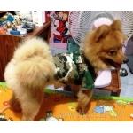 น้องโชกุนในชุดเสื้อสุนัข เชิ้ตทหาร สีเขียว