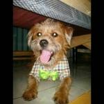น้องหมูกรอบ เสื้อสุนัข ทักซิโด้ สก๊อต โบว์เขียว