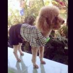 น้องอัลมอนด์ เสื้อสุนัข ทักซิโด้ สก๊อต โบว์เขียว