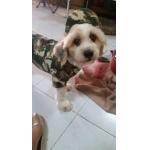 น้องโปกเกอร์ในชุดเสื้อสุนัข เชิ้ตทหาร สีเขียว