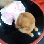 น้องbirthday เสื้อสุนัข เดรสสายคล้องราตรี สีชมพู