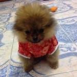 review น่ารัก เสื้อสุนัข ชุดจีน สีแดง